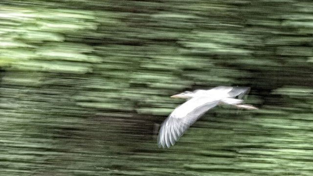 Catching a heron in flight