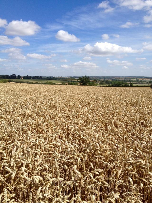 Wheat field Grafton Regis