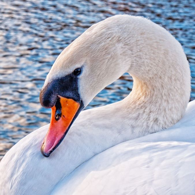 One of the beautiful swans residing around Diglis Basin in Worcester