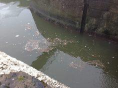 Lots of dead fish below the lock still