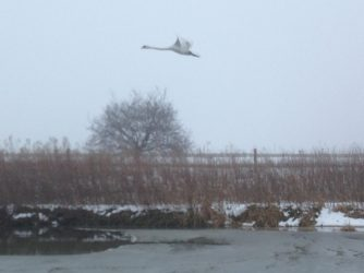 Swans took flight as we approached - not used to boats moving around here!